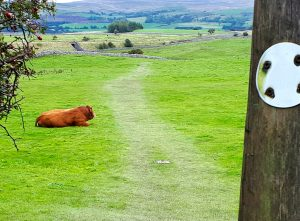 Walking the Coast to Coast obstacles - bulls