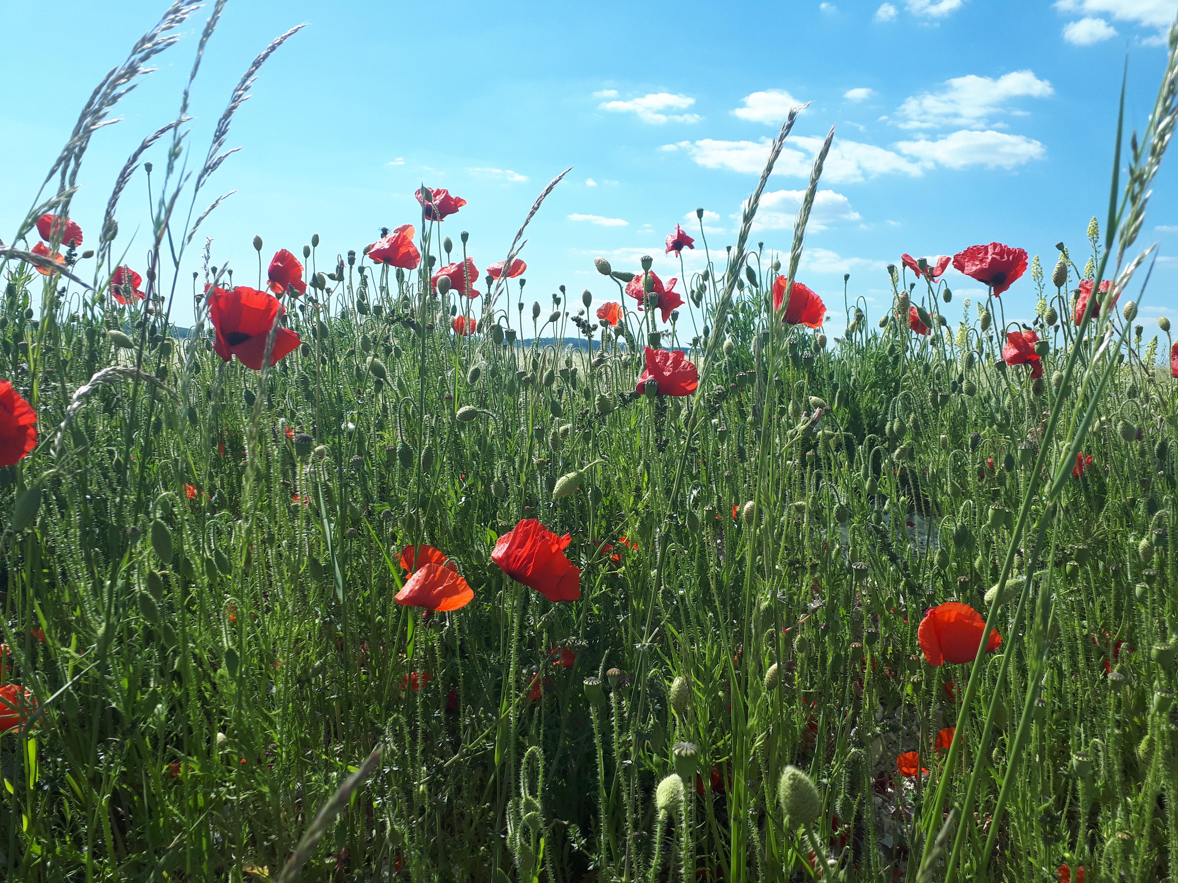 Poppies. Life Coaching